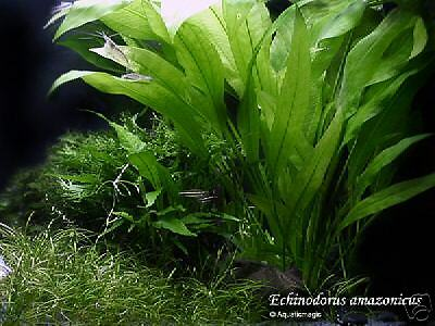 Amazon live Sword plant x 9 stalks =BUY 6 GET 3 FREE!! Aquarium co2 fish tank